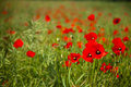 Field of poppies a in amongst rape seed shallow depth giving a blurred background Royalty Free Stock Photos