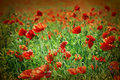 Field of poppies artistic image Royalty Free Stock Image