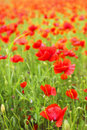 Field of poppies beautiful flower background Stock Photo
