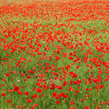 Field of poppies beautiful summer background Stock Image