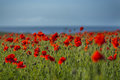 Field of poppies with blue sky at polly joke crantock cornwall uk Royalty Free Stock Image