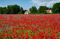 A field of poppies and cornflowers