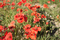 A Field of Poppies in France Royalty Free Stock Photo