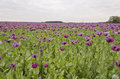 Field of poppies full purple Stock Image