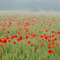 Field of poppies misty morning Royalty Free Stock Photography
