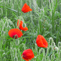 Field of poppies in the morning Royalty Free Stock Photo