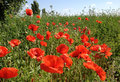 Field of poppies over sky background Royalty Free Stock Photos
