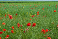 Field of Poppies in Romania Royalty Free Stock Photography