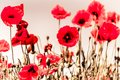 Field of Poppies in Sussex Royalty Free Stock Photo