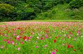 Field of poppy flowers Royalty Free Stock Photo