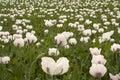 Field of poppy plants Stock Photography