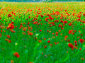 Field of poppys Royalty Free Stock Image