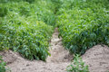 Field of potato bushes. Royalty Free Stock Photo