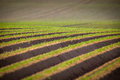 Field of potato