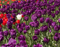 Field of purple tulips with one white tulip standing out from the rest Royalty Free Stock Photos