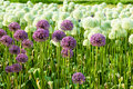 Field purple white bulbous alliums flower farm Stock Photo