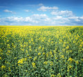 Field of rape seed plants and blue sky. Royalty Free Stock Photo