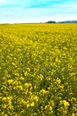 Field of rape which is produced rapeseed oil Stock Photo