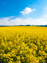 Field of rapeseed, aka canola or colza. Rural landscape with blue sky and white clouds. Spring and green energy theme Royalty Free Stock Photo
