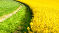 Field of rapeseed, aka canola or colza. Rural landscape with country road. Spring and green energy theme, Czech Republic Royalty Free Stock Photo