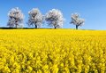Field of rapeseed and alley of cherry tree Royalty Free Stock Photo