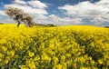 Field of rapeseed with apple tree Royalty Free Stock Photo