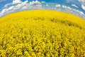 Field rapeseed beautiful cloud plant green energy Stock Images