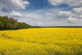 Field of rapeseed beautiful yellow fields against the blue sky Royalty Free Stock Photo