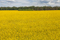 Field of rapeseed beautiful yellow fields against the blue sky Stock Photography