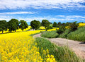 Field of rapeseed, canola or colza with rural road Royalty Free Stock Photo