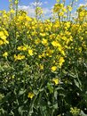 Field of rapeseed a close up shot brassica napus Stock Images