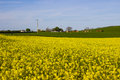 A field of Rapeseed oi an Irish Farm with its bright yellow flower heads, contrasted against a clear blue sky on a sunny day in ea Royalty Free Stock Photo