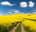 Field of rapeseed with rural road and beautiful cloud Royalty Free Stock Photo