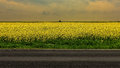 Field of rapeseed yellow brassica napus Royalty Free Stock Images
