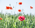 Field of red dainty poppies nature background Royalty Free Stock Photos