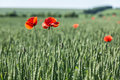 Field of red dainty poppies nature background Stock Photos