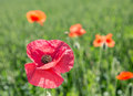 Field of red dainty poppies nature background Stock Image