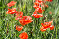 Field of red dainty poppies nature background Stock Photography
