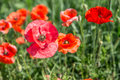 Field of red dainty poppies nature background Stock Images