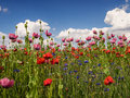 Field of red and pink poppies hesssen germany Stock Photo