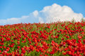 Field of red poppies the Royalty Free Stock Image