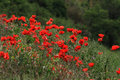 Field of red poppies. Royalty Free Stock Photo