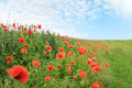 Field red poppies blooming summer landscape Royalty Free Stock Images