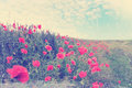 Field red poppies blooming summer landscape vintage Stock Photography
