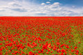 Field of red poppies on spring meadow Royalty Free Stock Photos