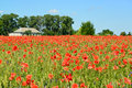 Field of red poppies in a sunny day Royalty Free Stock Photo