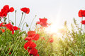 Field with a red poppy flowers in morning sunlight Royalty Free Stock Photo