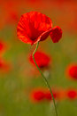 Field of red poppy on spring meadow Stock Image
