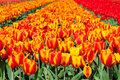 Field of red and striped tulips Royalty Free Stock Photo