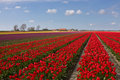 Field with red tulips Royalty Free Stock Photo